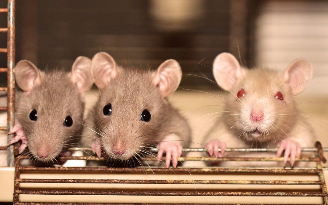 Люди рожденные в год крысы