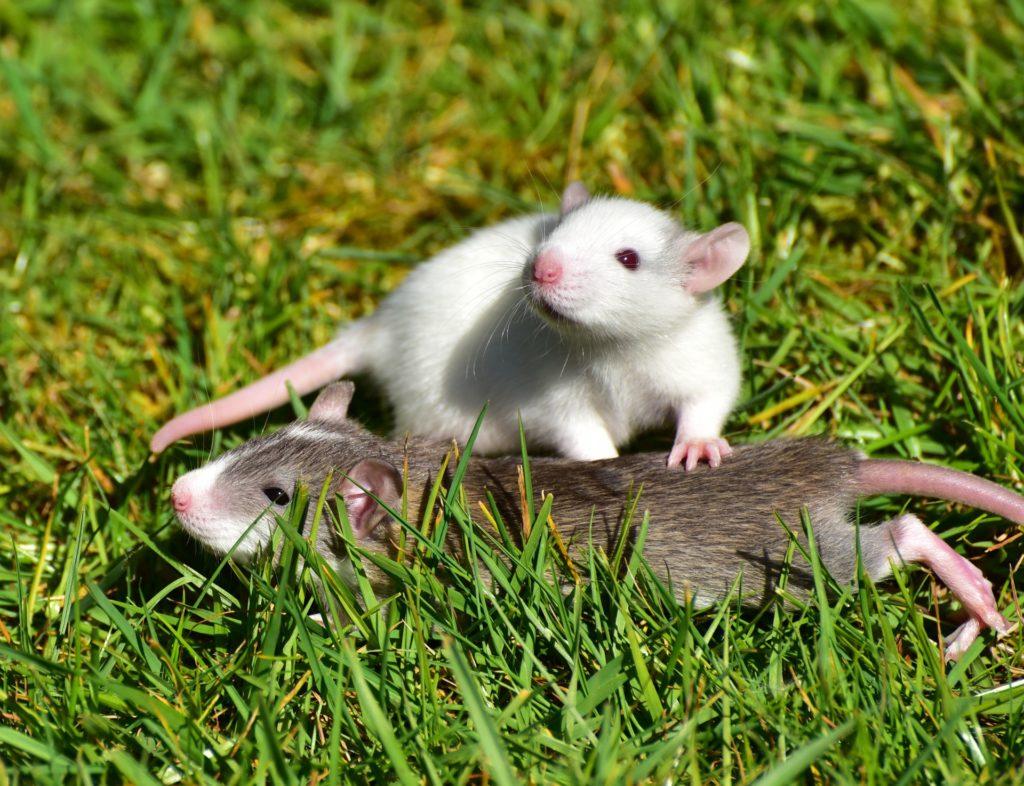 люди рожденные в год крысы 2